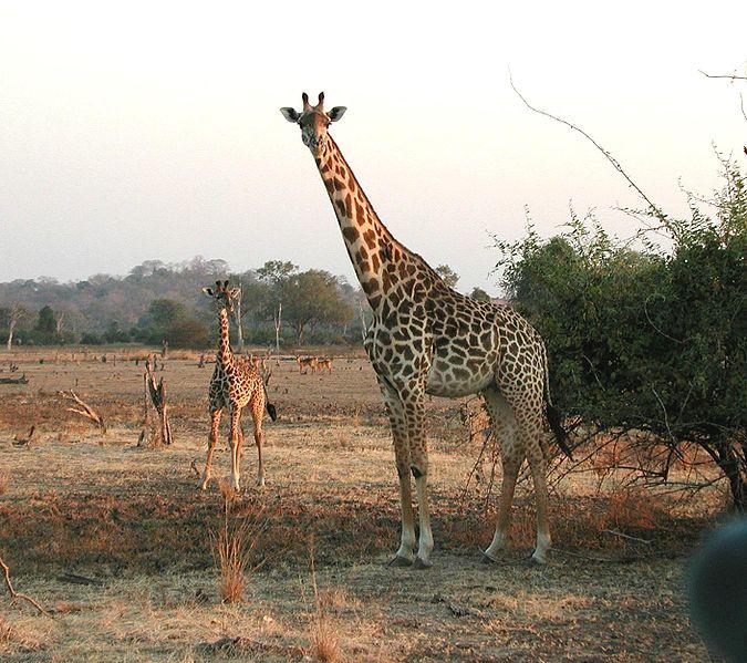 675px-Giraffen