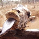 800px-Giraffe_animal_head